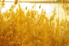 золотистый тростник Стоковые Фото
