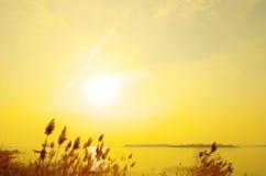 золотистый тростник Стоковое Изображение RF