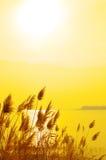 золотистый тростник Стоковая Фотография RF