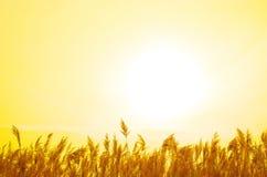 золотистый тростник Стоковое Фото