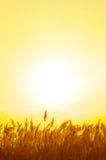 золотистый тростник Стоковая Фотография
