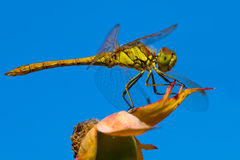 Золотистый dragonfly Стоковая Фотография RF