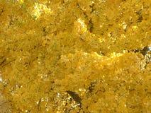 Золотое дерево Biloba гинкго Стоковое Изображение RF