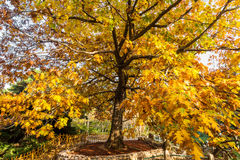 Золотое желтое дерево в осени в парке Zhongshan, Qingdao стоковое фото rf