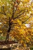 Золотое желтое дерево в осени в парке Zhongshan, Qingdao стоковые фотографии rf