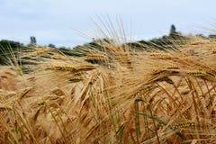 Золотое зерно сухое и готовое для сбора Стоковое Фото