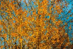 Золотое коричневое дерево в падении Стоковая Фотография