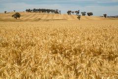 Золотое покрашенное поле урожая Стоковое фото RF