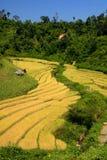 Золотое поле риса на террасном в сельской местности, Чиангмае, Таиланде Стоковые Фото