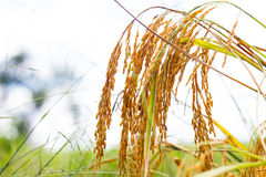 Золотое поле риса стоковые изображения