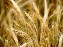 Золотое поле хлопьев, пшеница Стоковое Изображение RF