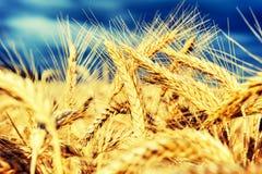 Золотое пшеничное поле на летнем дне Стоковые Изображения