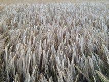 Золотое пшеничное поле смотря на к от камере Стоковые Изображения