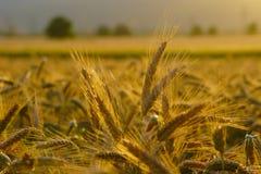 Золотое пшеничное поле стоковые фотографии rf