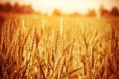 Золотое пшеничное поле Стоковые Изображения RF