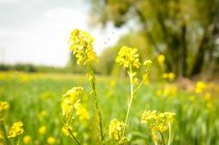 Золотое цветение цветка рапса Стоковые Фотографии RF