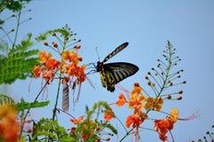 Золотое Birdwing Стоковое фото RF