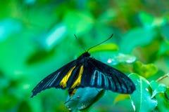 Золотое birdwing rhadamantus Troides бабочки Стоковые Фотографии RF