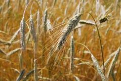 Золотое Rye в осени Деревня Rye Ферма Солнечное золото Стоковые Изображения RF