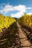 Золотой виноградник Стоковое Изображение RF