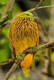 Золотой голубь сидя на дереве, остров Viti Levu, Фиджи Стоковые Фото