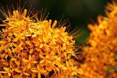 Золотой желтый цветок Стоковые Изображения