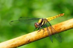 Золотой желтый Dragonfly Стоковые Изображения RF