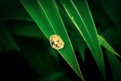 Золотой жук черепахи (sexpunctata Charidotella) стоковая фотография