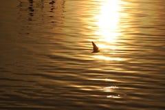 Золотой заход солнца Балтийского моря с силуэтом чайки Стоковые Изображения RF