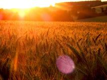 Золотой заход солнца пшеницы стоковые изображения