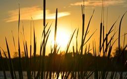 Золотой заход солнца, силуэт завода Reed Стоковые Изображения RF