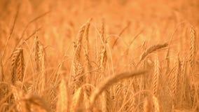 Золотой, зрелый, поле ячменя (вся пшеница) ii видеоматериал