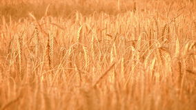 Золотой, зрелый, поле ячменя (вся пшеница) v акции видеоматериалы