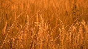 Золотой, зрелый, поле ячменя (вся пшеница) VI видеоматериал