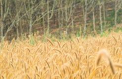 Золотой злаковик с расплывчатой предпосылкой леса Стоковое Изображение