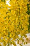 Золотой ливень желтый цветок Стоковое Изображение RF