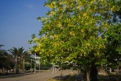 Золотой ливень зацветая на стороне улицы Стоковые Изображения
