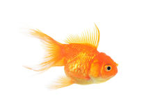 Золотой изолят рыб на белой предпосылке Стоковое Фото
