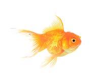 Золотой изолят рыб Стоковая Фотография