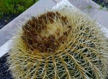 Золотой кактус шарика или бочонка Стоковые Изображения