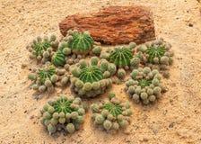 Золотой кактус шарика Стоковая Фотография