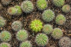 Золотой кактус шарика Стоковые Изображения