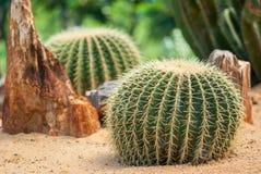 Золотой кактус шарика Стоковые Фотографии RF