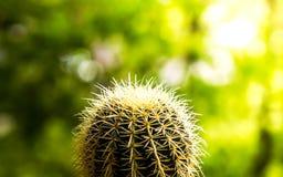 Золотой кактус шарика Стоковое Фото