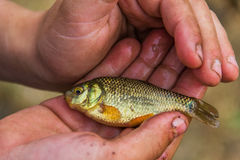 Золотой карп в руках ребенка Стоковые Фото