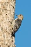 Золотой, который противостоят woodpecker стоковая фотография rf
