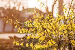 Золотой колокол, Forsythia цветет перед с зеленой травой и голубым небом Стоковые Изображения RF