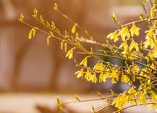 Золотой колокол, Forsythia цветет перед с зеленой травой и голубым небом Стоковое Изображение