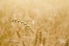 Золотой колосок пшеницы Стоковые Изображения
