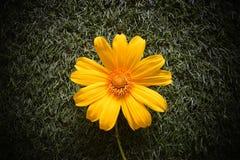 Золотой куст маргаритки Стоковые Фотографии RF